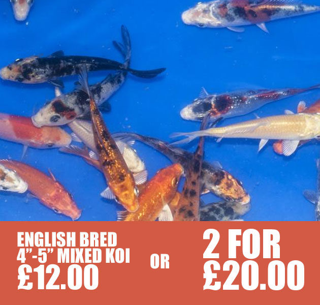 ENGLISH BRED KOI AVAILABLE IN STORE
